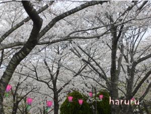 為松公園 桜