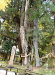 日本一杉の大杉